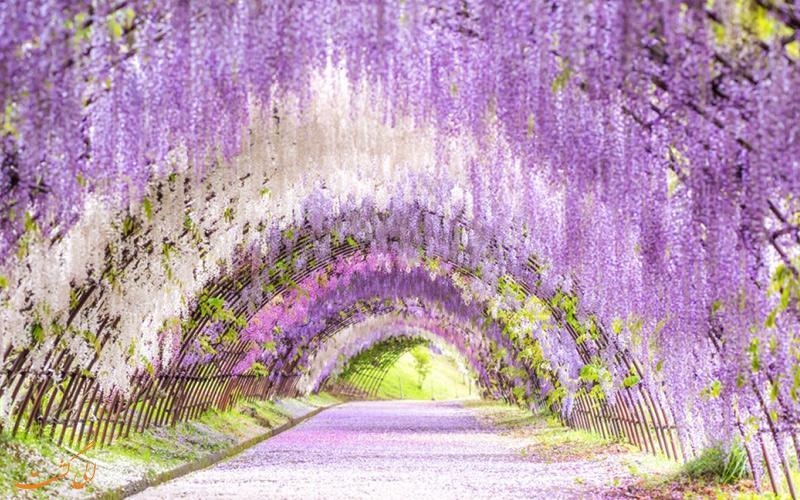 تصاویری آرامش بخش از تونل گل های ویستریا در ژاپن